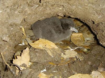 巣の中で待つオオミズナギドリの雛.jpg