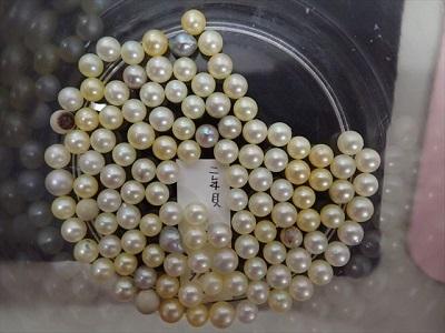 収穫した真珠.jpg