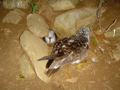 巣の入り口で見つめあうオオミズナギドリのペア.jpg